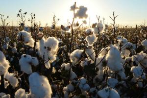 中澳最新消息!知情人士:中国要求棉厂停止购买澳大利亚棉花